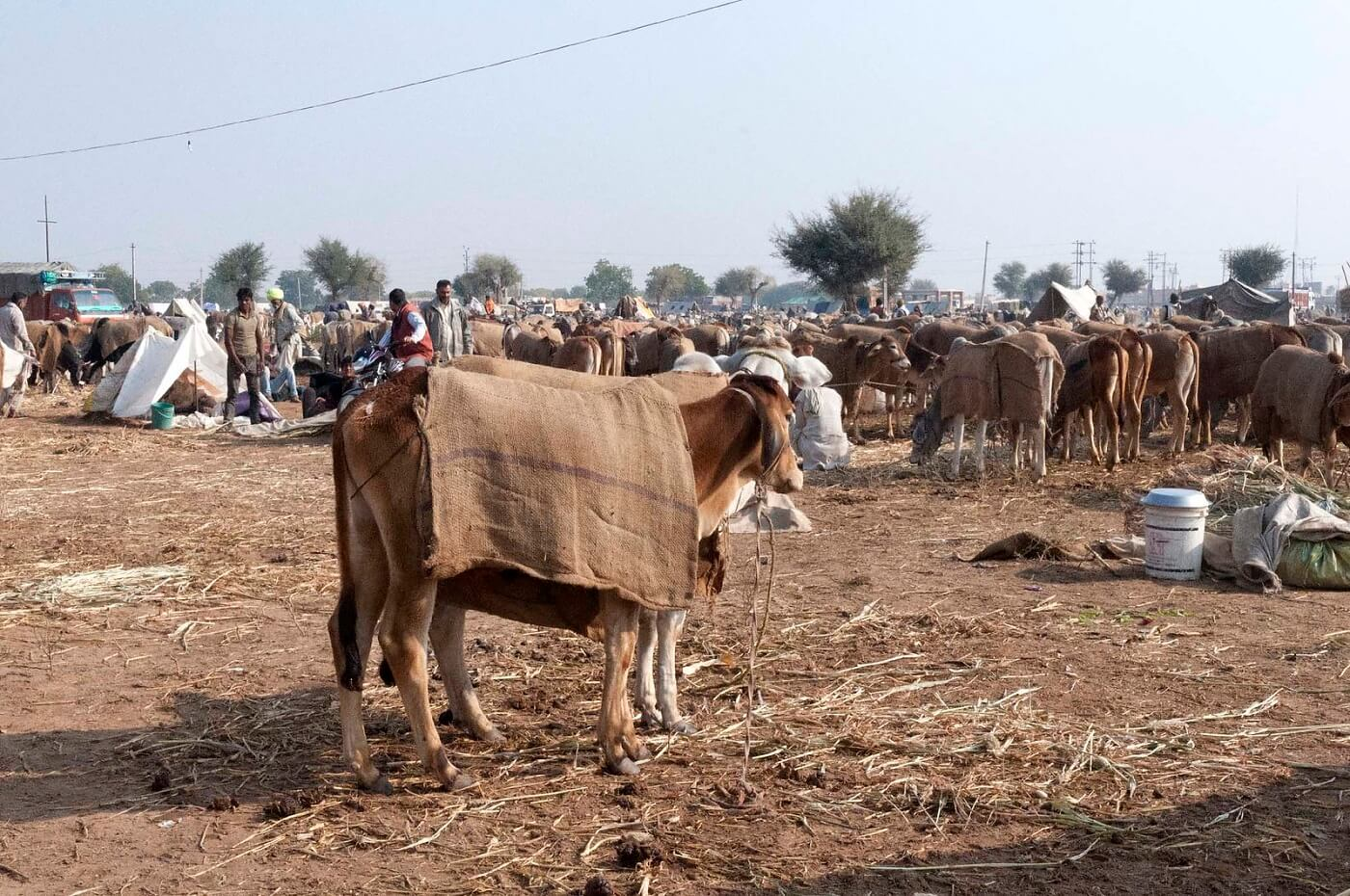 Nagaur Fair (Ramdeoji Cattle Fair)